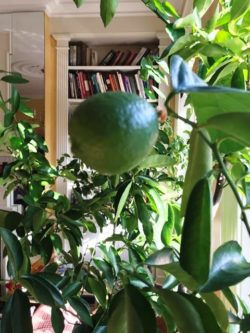 Lime tree in the happy room